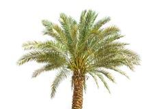 Palm tree isolated on white. Background stock photos