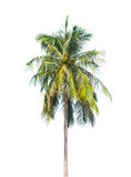 Palm tree isolated on white Royalty Free Stock Image