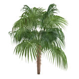 Palm tree isolated. Zombia antillarum Royalty Free Stock Images