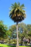 Palm Tree in its in all its mighty. A entire palm tree Royalty Free Stock Photos