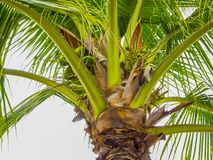 Palm tree with its coconuts with a gray sky background stock photos