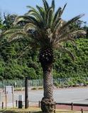Palm tree at Jogashima island royalty free stock photo