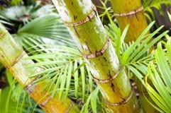 Palm Tree Jungle Royalty Free Stock Photography