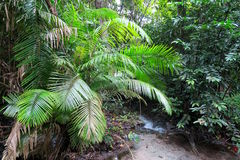 Palm tree in the jungle near a small river Stock Photos