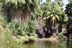 Palm tree jungle oasis. And lake in the desert of Phoenix, Arizona Royalty Free Stock Images