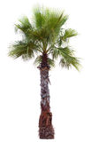 Palm tree with a large crown Royalty Free Stock Image