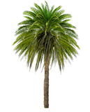 Palm tree with a large crown Stock Photo