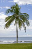 Palm tree, lawn and Pacific Ocean Royalty Free Stock Photos