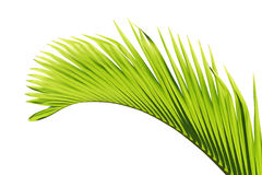 Palm tree leaf. This is a beautiful green palm tree leaf on white background Stock Image