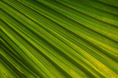 Free Palm Tree Leaf Stock Photos - 11656483