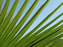 Palm Tree Leaf. Detail of a palm tree leaf against bright blue sky Royalty Free Stock Image