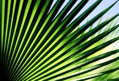 Palm tree leaf. Close up background photo of bright green contrast palm tree leaf, sunlight effects Stock Photos