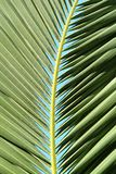 Palm tree leaf Royalty Free Stock Photos