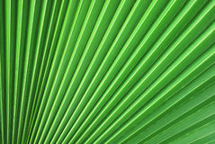 Palm tree leaf. Big backlit palm tree leaf close-up stock photo