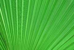 Palm tree leaf. Big backlit palm tree leaf close-up royalty free stock images