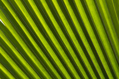 Palm tree leaf. A close sight of palm tree leaf Stock Images