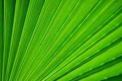 Palm tree leaf. Green palm leaf detail macro photography Stock Images