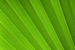 Palm tree leaf Royalty Free Stock Image