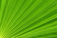 Palm tree leaf. Green palm leaf detail macro photography Stock Image