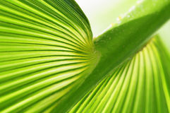 Palm tree leaf. Close-up of palm tree leaf Royalty Free Stock Image