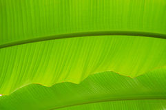 Palm tree leaf. Green palm tree leafs background in sun light Stock Image