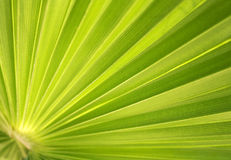 Palm tree leaf background Stock Images