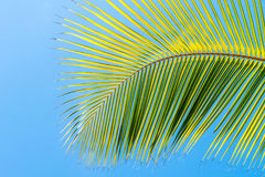 Palm tree leaf on blue clean sky background. Palm tree leaf frond on blue clean sky background at tropical climate Royalty Free Stock Photography