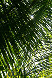 Palm tree leaf close-up Stock Photos
