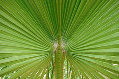 Palm tree leaf closeup Stock Photo