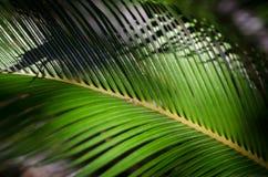Palm tree leaf. Closeup royalty free stock image