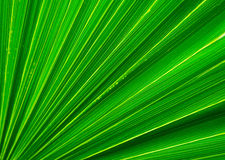 Palm tree leaf closeup Royalty Free Stock Photo