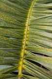 Palm tree leaf closeup - Nature Background Royalty Free Stock Images