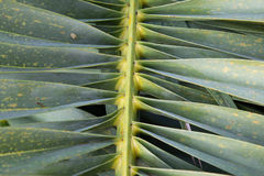 Palm tree leaf closeup - Nature Background Royalty Free Stock Photos