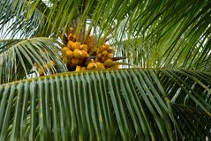 Palm tree leaf and coconuts Royalty Free Stock Photos
