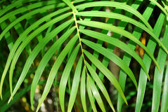 Palm tree leaf green background Stock Images