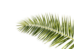 Palm tree leaf isolated on white Stock Photography