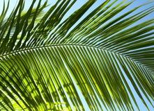 Palm tree leaf N5. Palm tree leaf and the blue sky Stock Photos