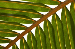 Palm tree leaf N514. Palm tree leaf on the white background royalty free stock photos