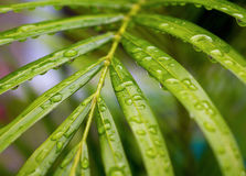 Palm tree leaf with rain water drops closeup Royalty Free Stock Images