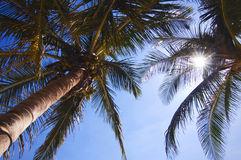 Palm tree. Between the palm leaf shins the sun Stock Photography
