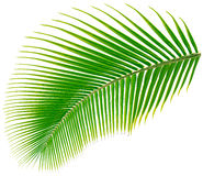 Palm tree leaf, vector illustration. Isolated on white Stock Photo
