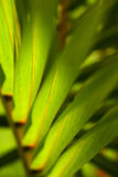 Palm tree leafs Stock Images