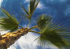 Palm tree leafs on blue sky Royalty Free Stock Image
