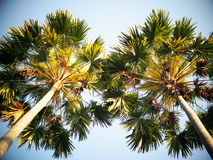 Palm tree leafs under morning sunlight view from bottom Stock Images