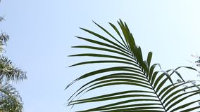 Palm trees leafs against the sky. Palm tree leafs waving in the wind in clear blue sky stock footage