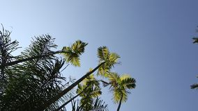 Palm trees leafs against the sky. Palm tree leafs waving in the wind in clear blue sky stock video