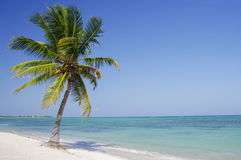 Palm tree. Leaning over a sandy beach Royalty Free Stock Image