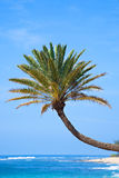 Palm Tree Leaning Over the Water in Hawaii Royalty Free Stock Images