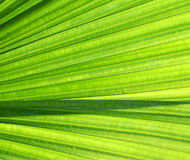 Palm Tree Leave Royalty Free Stock Images