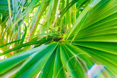 Palm tree leave closeup. Vivid Colors. Closeup of a palm tree leaf. Radial lines and colors. Healthy natural green color. Horizontal picture Royalty Free Stock Images